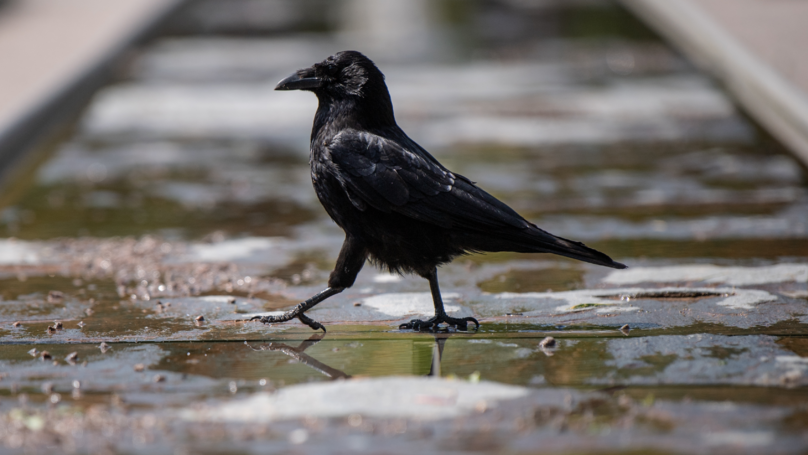 A Crow Called Russell Is Attacking People In Sheffield