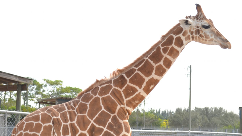 Two Giraffes Die After Being Struck By Lightning