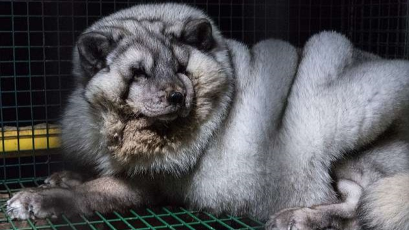 ​Arctic Foxes Kept In Cramped Cages Shame Fashion Industry