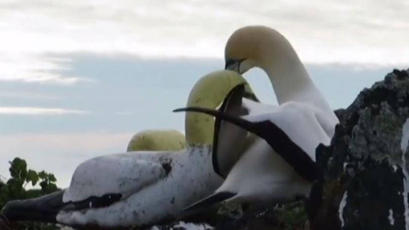 Nigel The Gannet Dies Alone After Living Years With Concrete Decoys