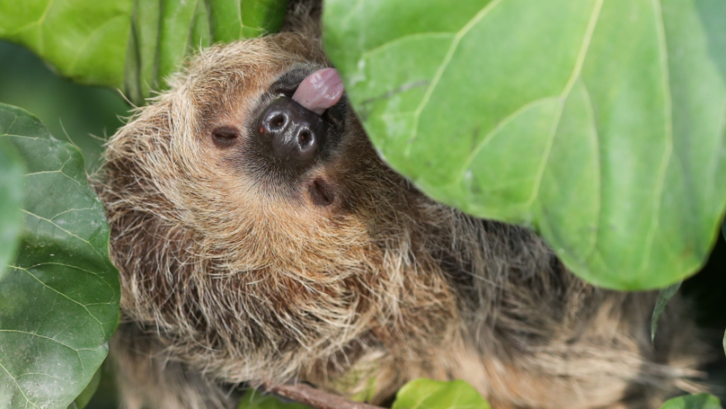 A Zoo In Wales Now Has A Retirement Home For Sloths