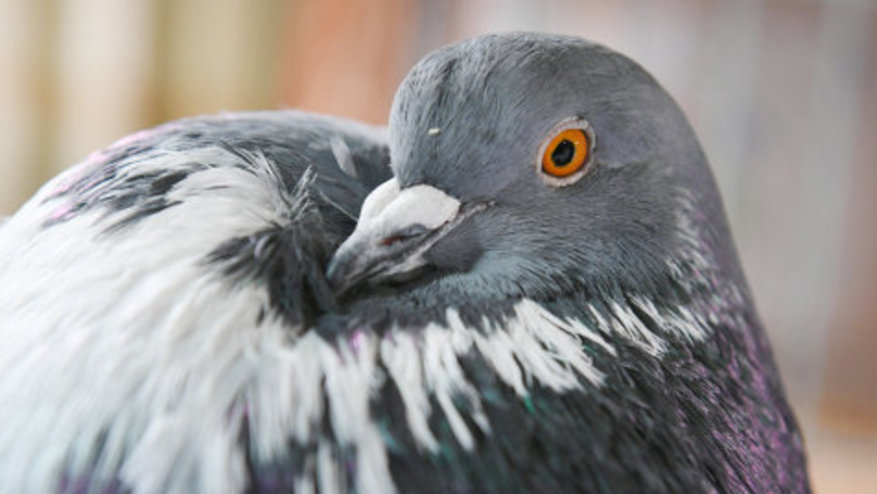 If You're Scared Of Pigeons Then You May Have Ornithophobia
