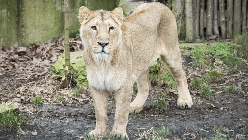Lioness Shot And Killed After Escaping From Belgian Zoo