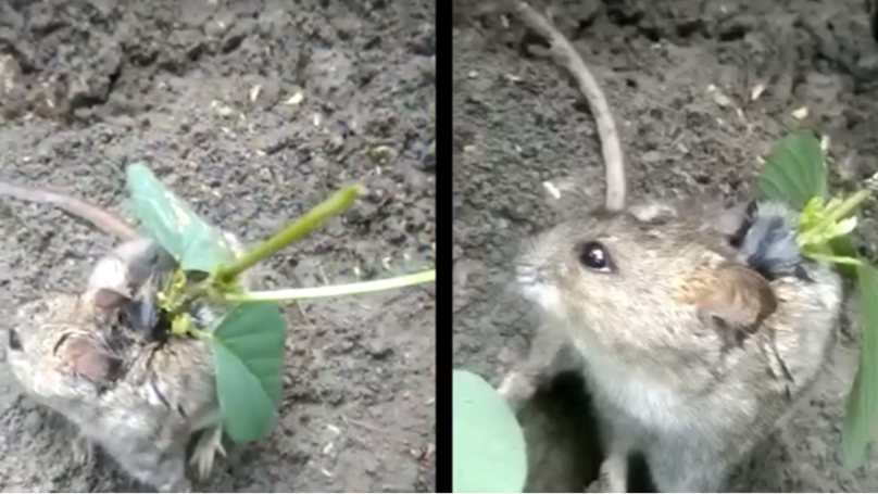 Farmer Discovers Rat With Plant Growing Out Of Its Back