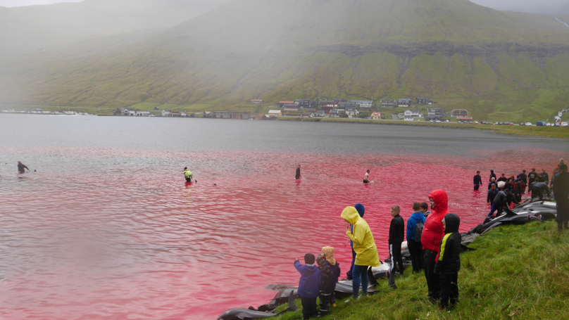 Refined Video Reveals Seas Elope Crimson With Blood As Dolphins Slaughtered On Faroe Islands thumbnail