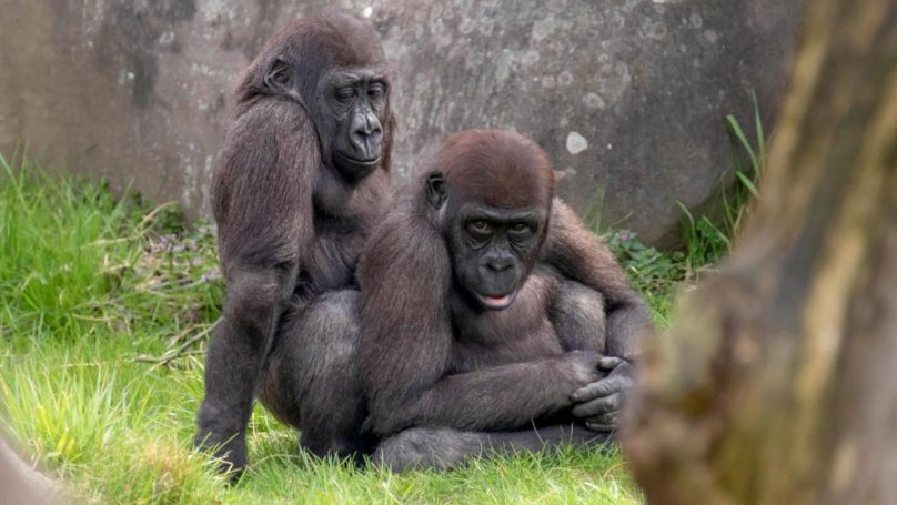 Gorillas Photographed In Some Very Explicit Positions At Rotterdam Zoo