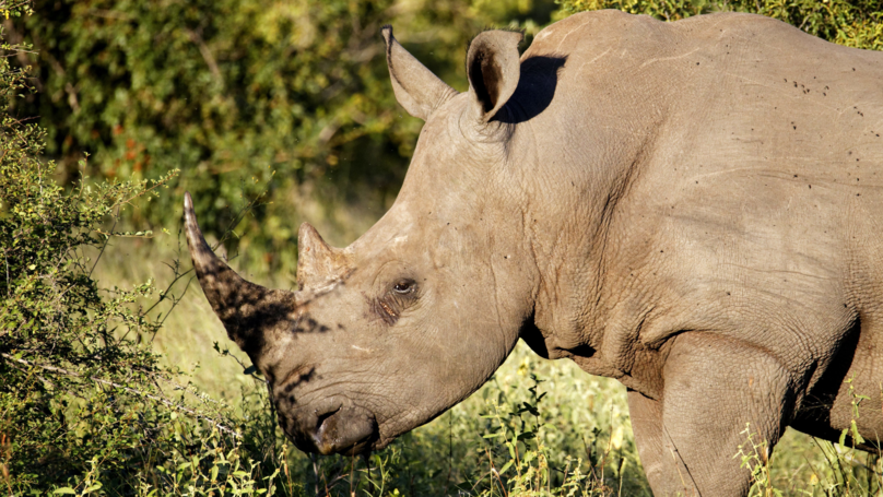 South African Police Retrieve Head Of Rhino Poacher Killed By Elephant
