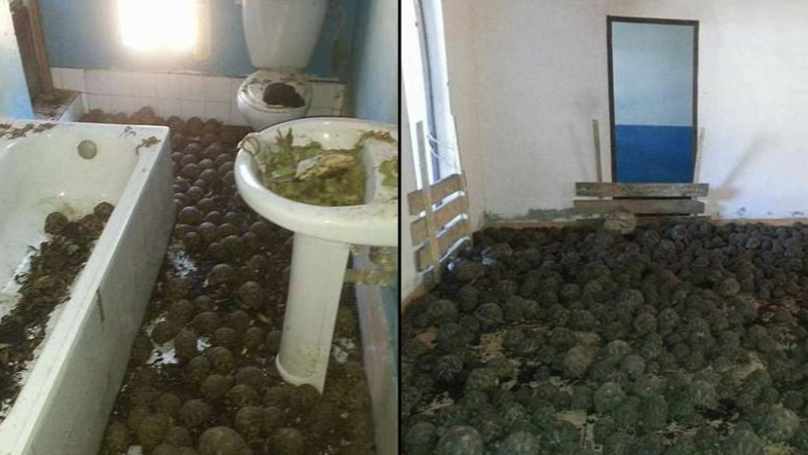 Stench Leads To Home Crawling With 10,000 Stolen Tortoises