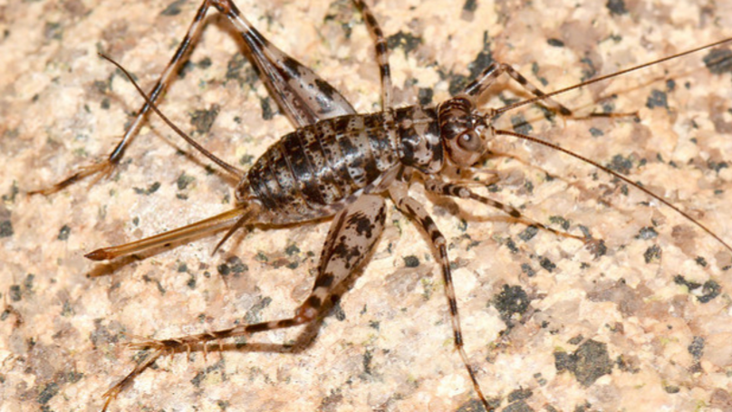 Jumping Spider Crickets Are Here To Spend Summer With You In The UK