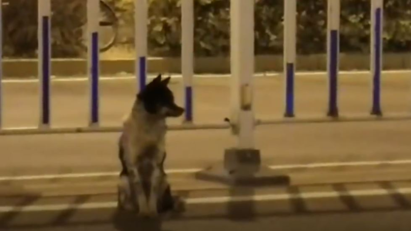 Mourning Dog Waits 80 Days On Busy Road Where Its Owner Died
