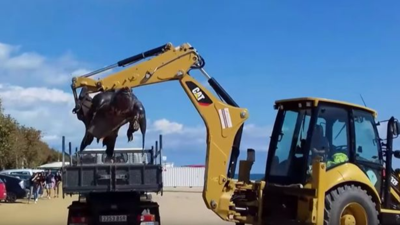 Huge Leatherback Turtle Washed Up On Beach Had To Be Moved By Digger