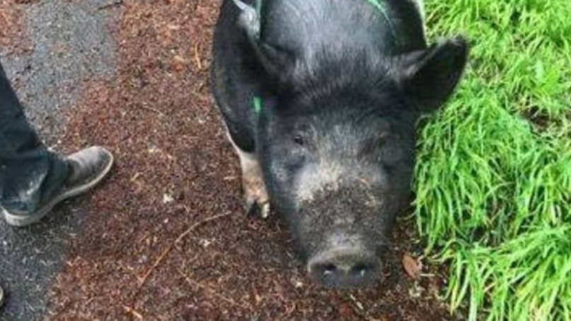 Missing Pet Pig Called Princess Slaughtered By Man Who Promised To Look After Her