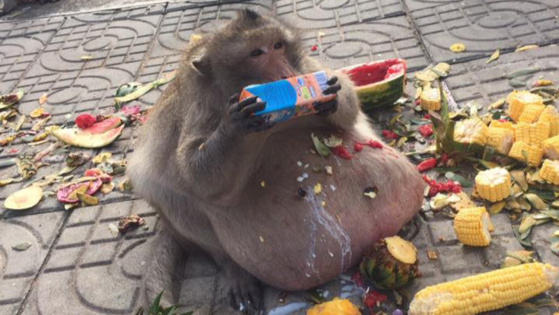 'Uncle Fatty' The Famously Obese Thai Monkey Is Missing Presumed Dead