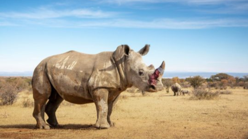 Rhino Horns Are Being 'Poisoned' To Keep Them Safe From Poaching