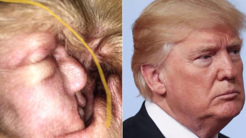 Donald Trump Found In A Dog Ear