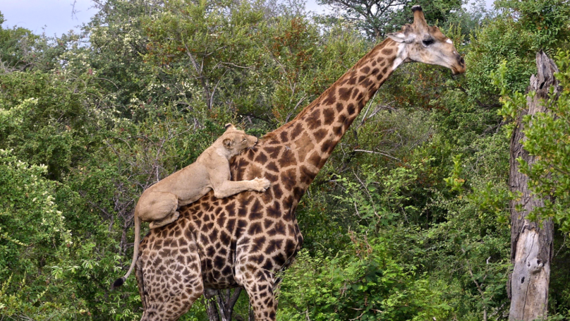 Lion Clings To Injured Giraffe's Back During Four Hour Hunt