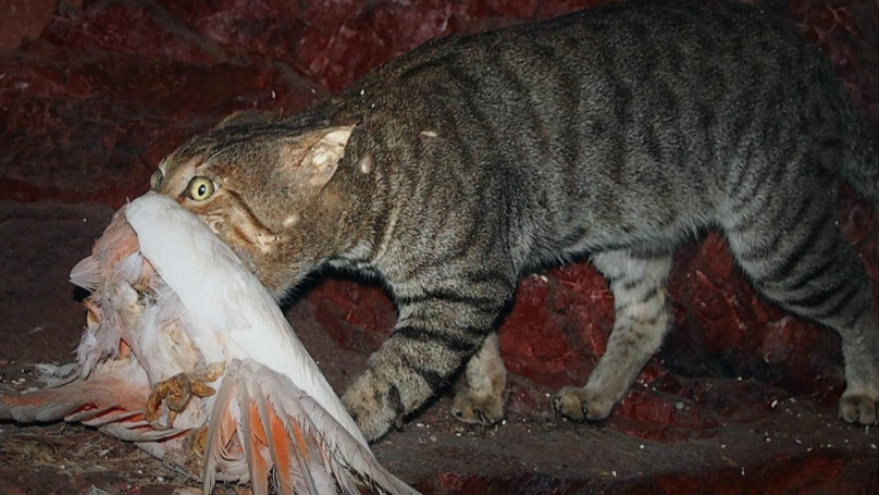 Australia To Drop Poisoned Sausages From Aeroplanes In Plan To Kill Millions Of Feral Cats