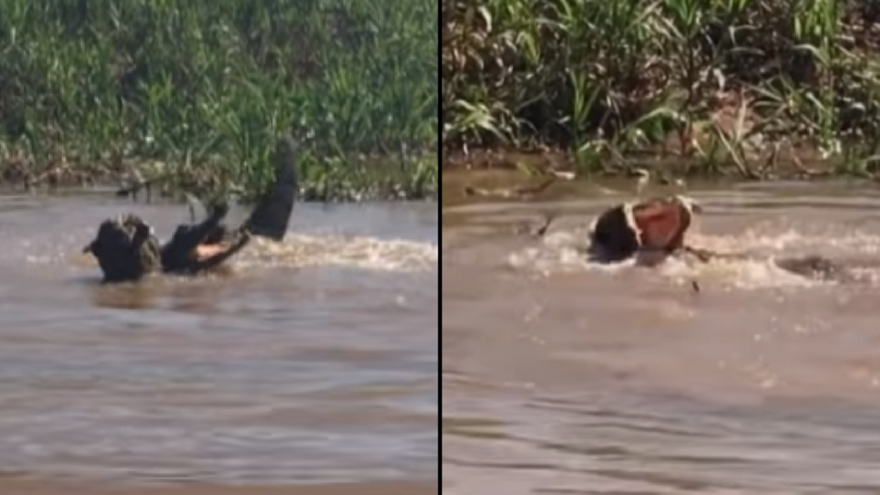 Amazing Footage Shows Jaguar And Caiman Fighting It Out To The Death