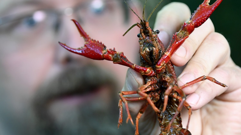 Defiant Crayfish Amputates Its Own Claw To Avoid Being Boiled Alive