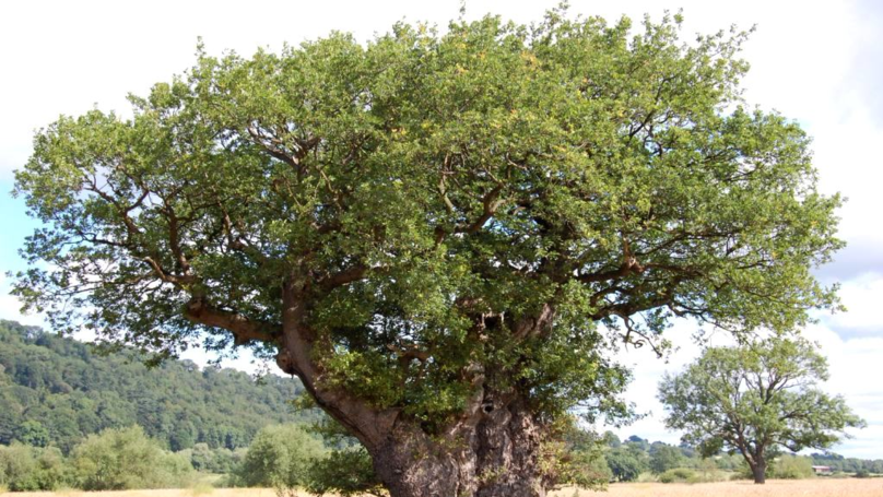 A Welsh Oak Tree That's 1,000 Years Old Has Fallen Down
