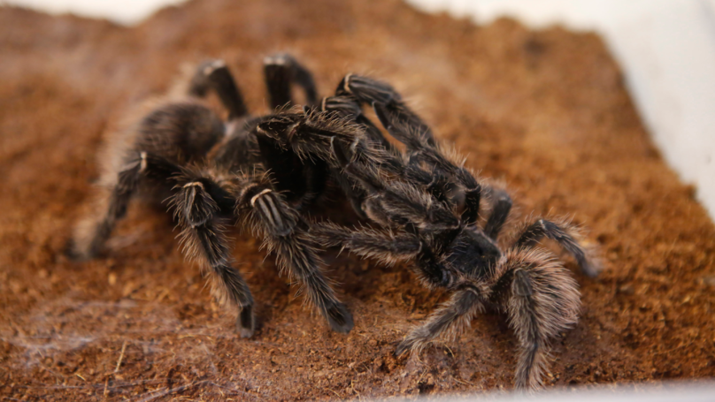 Cunning Husband Buys Tarantula To Stop 'Nagging' Mother-In-Law From Visiting