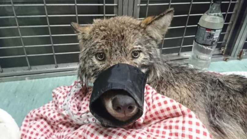 Men Rescue 'Dog' From Freezing River Only To Find It's Actually A Wolf