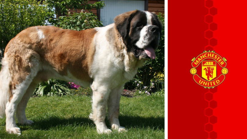 A Lost St Bernard Is The Reason Manchester United Exists