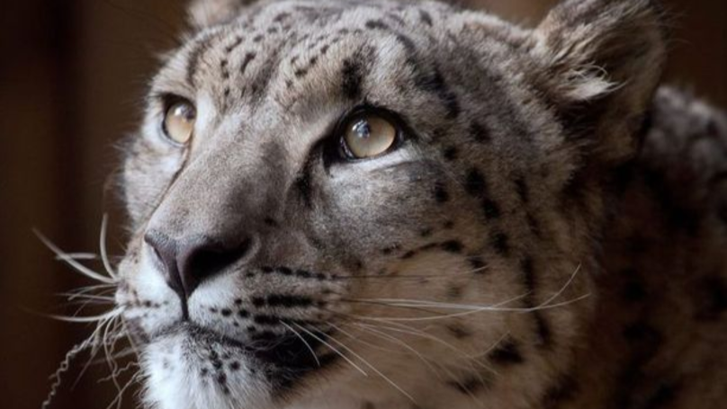 Snow Leopard Shot Dead After Escaping From UK Zoo