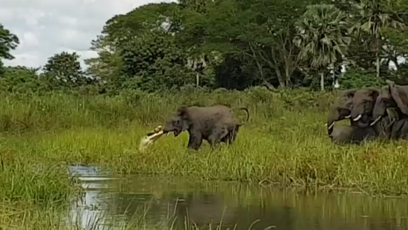 Someone Filmed A Fight Between An Elephant And A Crocodile