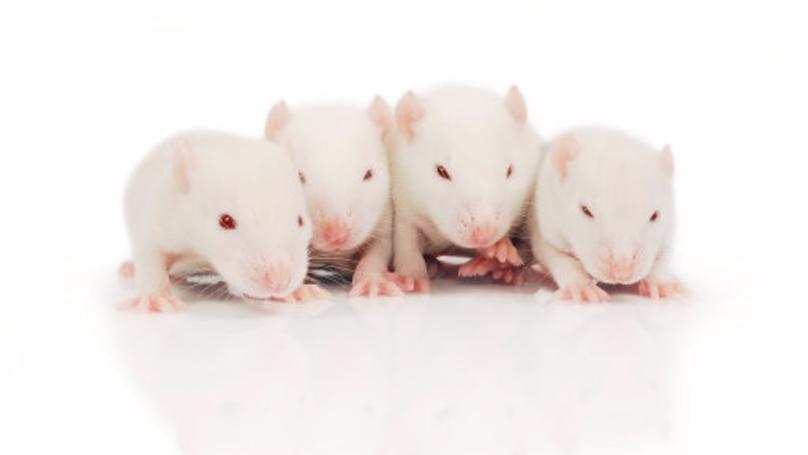 Human Head Transplants Move A Step Closer As Rat Test Prove Successful