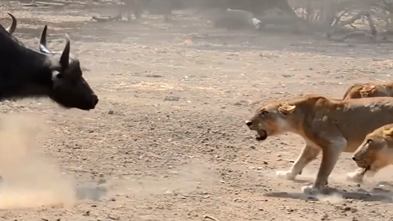 Herd Of Buffalo Takes On Pride Of Lions In Dramatic Clip