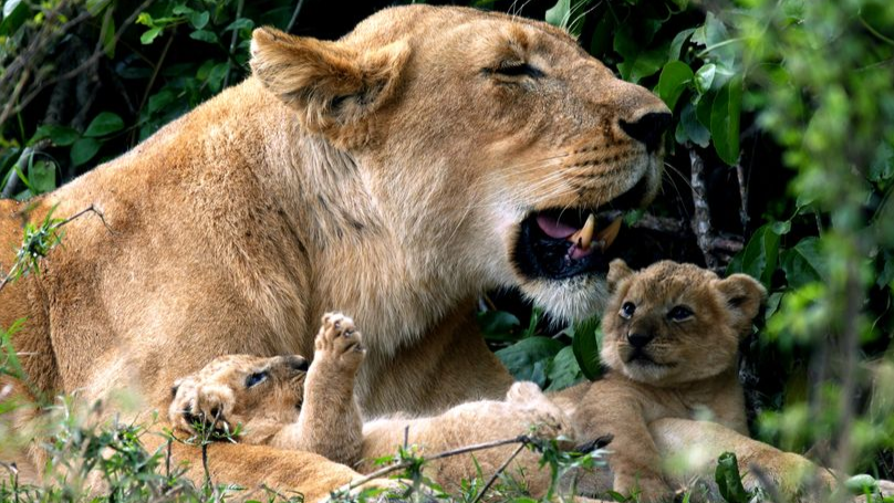 Two Lion Cubs Born On David Attenborough's Dynasties Have Died