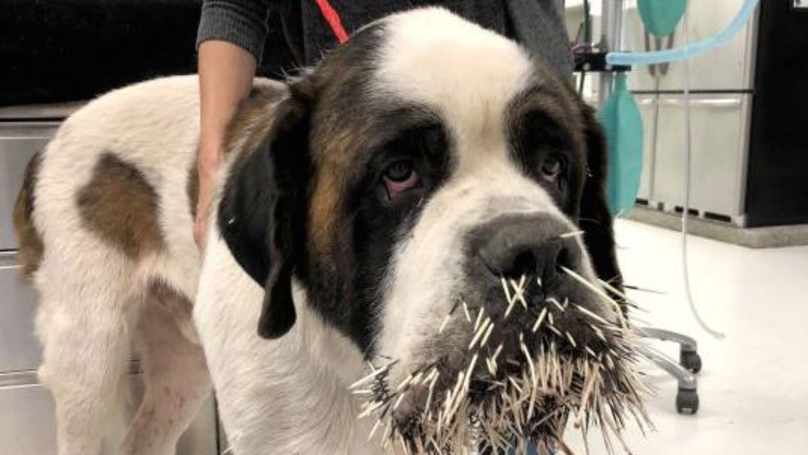 St Bernard Tries To Make Friends With A Porcupine, Instantly Regrets It
