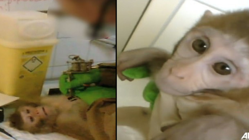 Horrific Footage Shows Monkeys Being Tattooed, Drugged, Tested And Then Being Killed At 'Animal Testing Facility'