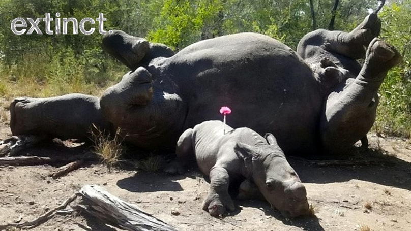 Arthur The Baby Rhino Lies Beside Dead Mother After She Was Shot By Poachers