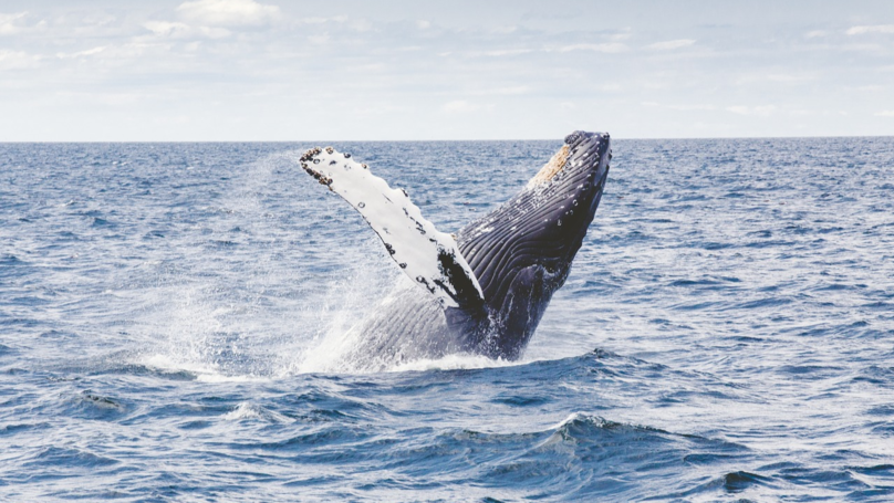 Iceland Will Not Hunt Whales This Summer For The First Time In 17 Years
