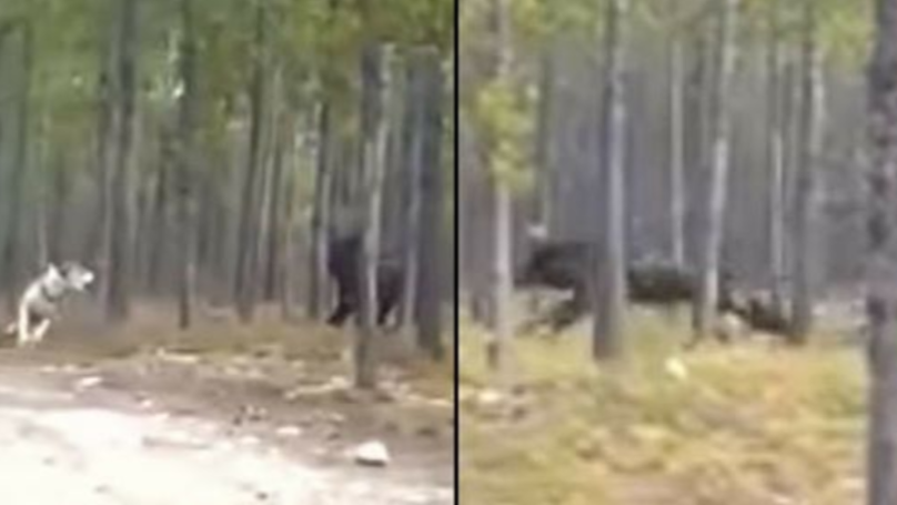 More Details Emerge On The Huge 'Wolf-Like' Creature Filmed Attacking A Dog