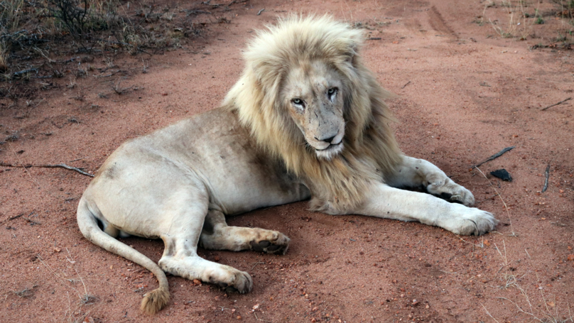 Thousands Of Lions Are Being Bred In Brutal Farms, Investigation Finds