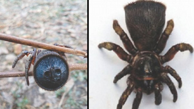 This Chinese u0027Trap Dooru0027 Spider Is As Creepy ... & This Chinese u0027Trap Dooru0027 Spider Is As Creepy As Hell - LADbible