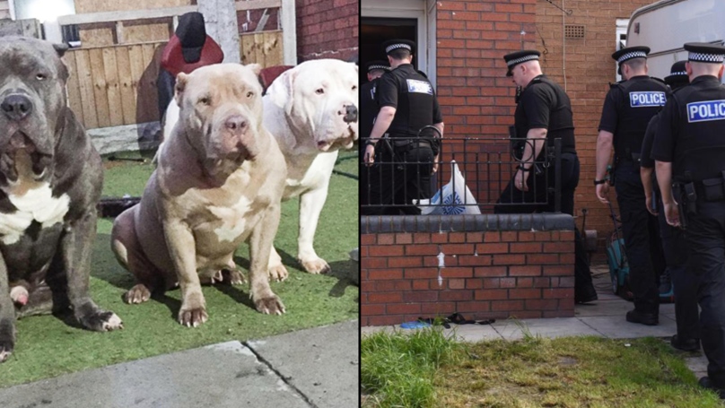 American Bully For Sale Uk >> 'XXL' American Bully Dogs Attack Two-Year-Girl As She Plays With Friends - LADbible