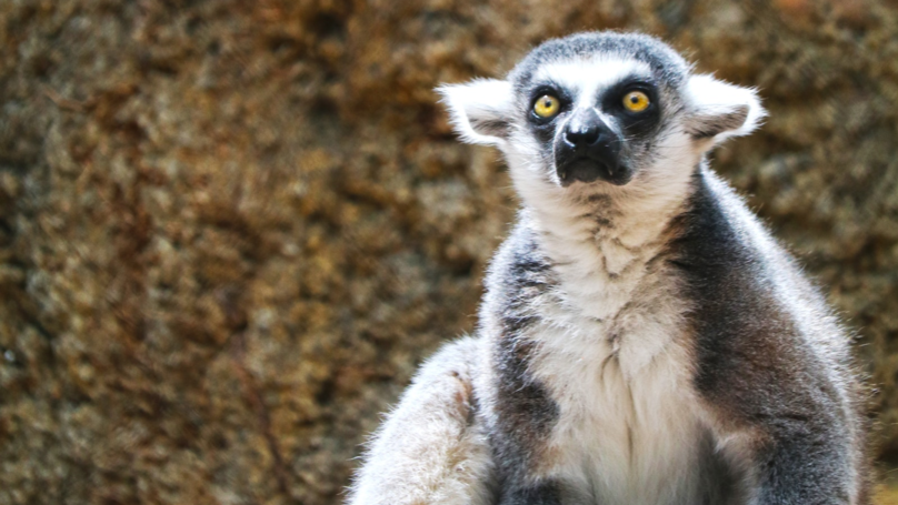 Chester Zoo Will Open A New Madagascar Habitat Where You Can See Lemurs Up Close