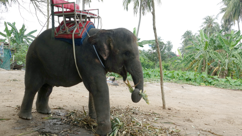 Tourists Urged Not To Ride Elephants In Thailand