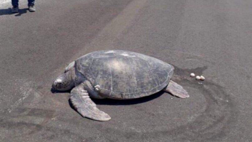 Endangered Turtle Who Comes To Lay Eggs Discovers Beach Is Now A Runway