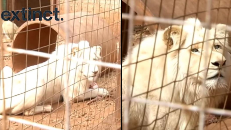 Rare White Lion Is Being Auctioned Off And 'Could Be Shot By Trophy Hunters'