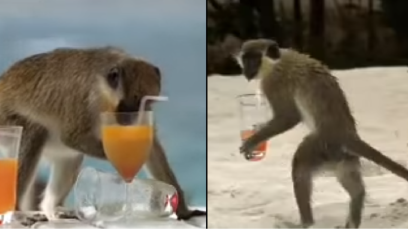 Look What Happens When Monkeys Get Hammered