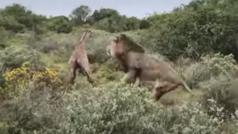 Baby Giraffe Killed And Eaten By Lions Two Hours After Being Born