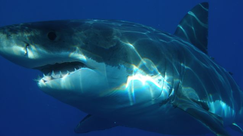 Scientists Tracking Massive Group Of Great White Sharks Off US Coast