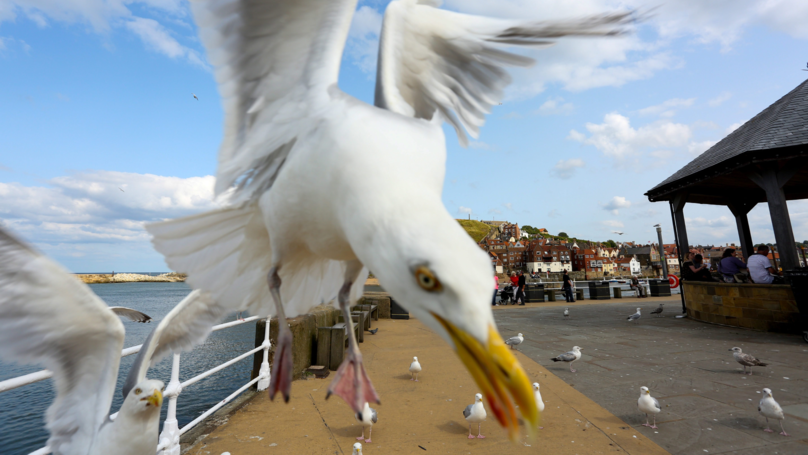 Couple Trapped In Their Home For Almost A Week Due To Aggressive Seagulls