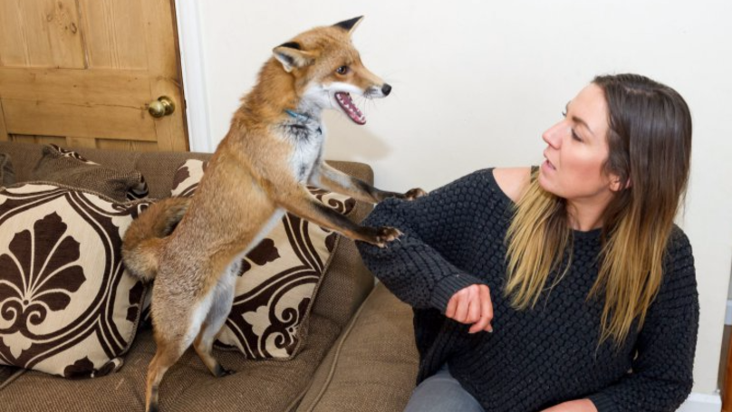 Mum Adds To Her Gang With Pet Fox After It Was Abandoned