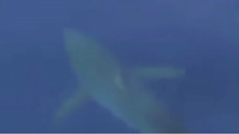 Footage Emerges Of The Huge Great White Shark Spotted Off Coast Of Majorca